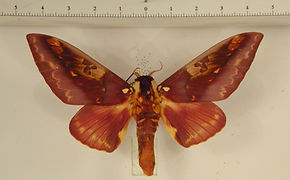 Citheronia phoronea mâle
