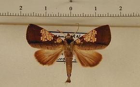 Marthula pleione mâle