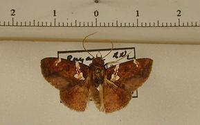 Antiblemma binota mâle