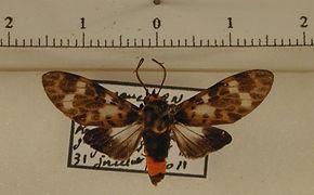 Eucereon metoidesis mâle