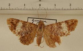 Coenipeta damonia mâle