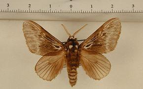 Podalia fuscescens mâle