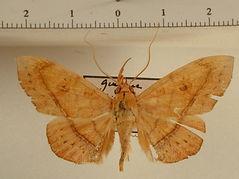 Argidia sp. mâle