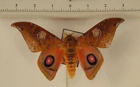 Automerina auletes mâle