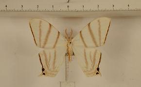 Therinia stricturaria mâle