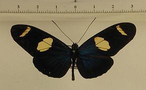 Heliconius sara thamar mâle