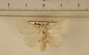 Norape variabilis mâle