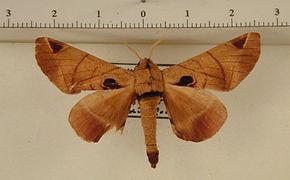 Apatelodes pandarioides mâle