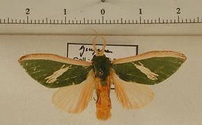 Moresa valkeri f. obliquifascia mâle