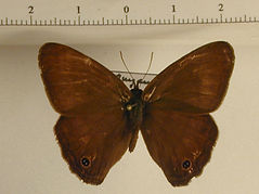 Yphthimoides renata mâle
