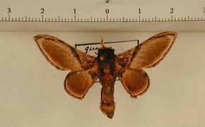 Euphaneta divisa mâle