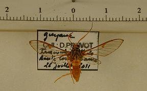 Pseudosphex aequalis mâle