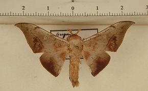 Psychocampa laguerrei mâle