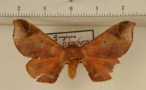 Quentalia drepanoides mâle