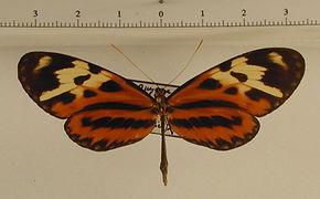 Mechanitis polymnia polymnia mâle