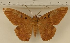 Letis magna mâle