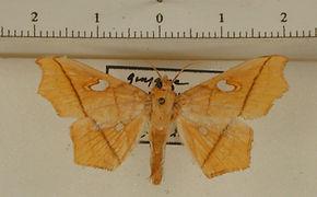 Midila guyanensis mâle