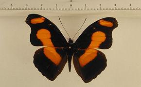 Catonephele numilia numilia mâle