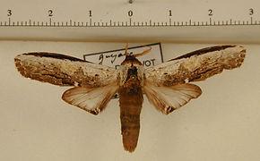 Lirimiris lignitecta mâle