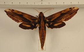 Xylophanes guianensis mâle