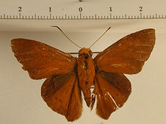 Porphyrogenes sororcula mâle