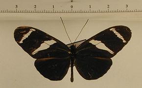 Heliconius antiochus antiochus mâle