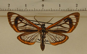 Hyalurga lauronoides mâle