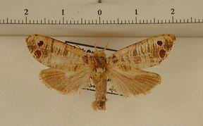 Biocellata bistellata mâle