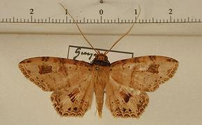 Ctypansa obtusa mâle