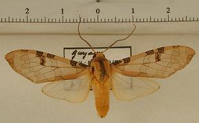 Halysidota orientalis mâle