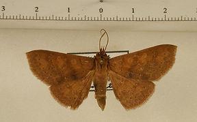 Chamyna homichlodes mâle