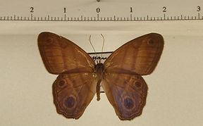Chloreuptychia tolumnia mâle