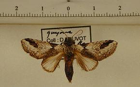 Sericochroa lioneli mâle