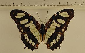 Siproeta steneles meridionalis mâle
