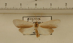 Agylla auranticaria mâle
