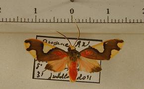Trichromia quadricolor mâle