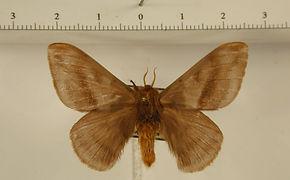 Hylesia umbrata mâle