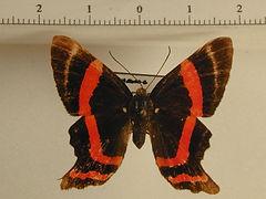 Ancyluris aulestes aulestes femelle