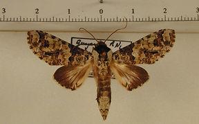 Sericochroa torresi mâle
