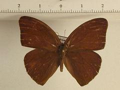 Erichtodes antonina mâle