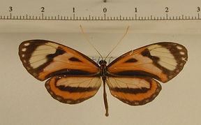 Hypothyris vallonia glycon mâle