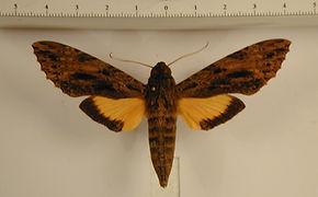 Isognathus leachi mâle