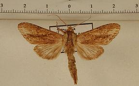 Pentobesa xylinoides mâle