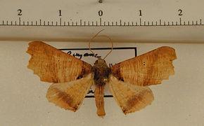 Pero polygonaria mâle
