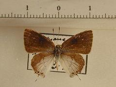 Theclinae sp5 mâle