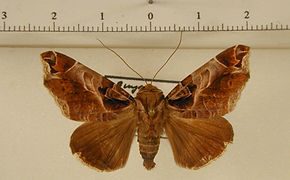 Calyptis idonoides mâle