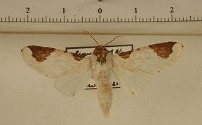 Sericochroa lemoulti mâle