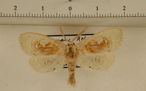 Arrhenophanes perspicilla mâle