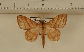 Drepatelodes umbrilinea mâle