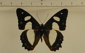 Pyrrhogyra amphiro agilis mâle